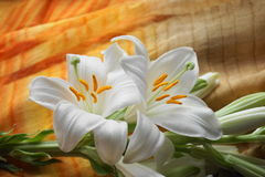 White Madonna lily flower, Stock Image