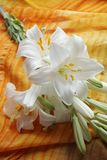 White Madonna lily flower, Royalty Free Stock Photos