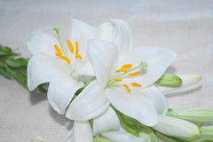 White Madonna lily flower, Royalty Free Stock Photo