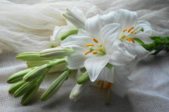 White Madonna lily flower, Stock Photo