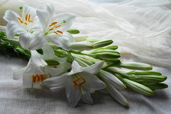 White Madonna lily flower, Royalty Free Stock Image