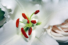 White Madonna Lily and rose Royalty Free Stock Images
