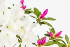 White and magenta azalea Stock Photos