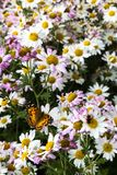 White and magenta daisies and a butterfly. Monarch butterfly sitting on white daisy stock photography