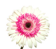 White and magenta gerbera Royalty Free Stock Image