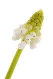 White magic flower of Muscari botryoides Royalty Free Stock Photos