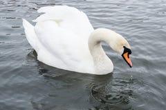 White magic swan drinking water royalty free stock photos