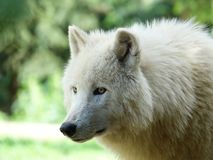 The white, magnificent and wild wolf