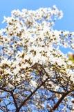 White magnilia tree selective focus Stock Image