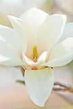 White magnolia Stock Photography