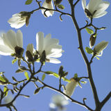 White Magnolia Stock Photos