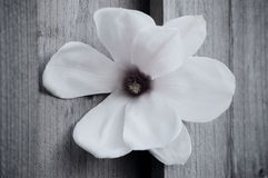 White Magnolia Royalty Free Stock Photo