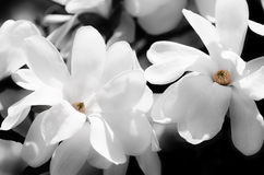 White Magnolia Royalty Free Stock Photography