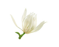 White magnolia royalty free stock image