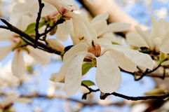 White magnolia. Close-up Stock Photography