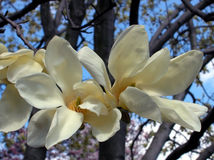 White magnolia. Flower close-up stock images