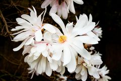 Free White Magnolia Stock Photo - 89846030