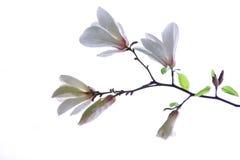 White magnolia. On a white background Royalty Free Stock Photos