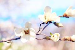 White magnolia. Beautiful spring white magnolia branch Stock Images
