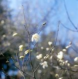 White magnolia in bloom against blue sky. Royalty Free Stock Photography