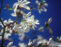 White magnolia in bloom against the blue sky. Royalty Free Stock Photos
