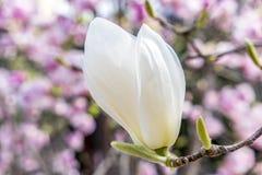 White Magnolia Royalty Free Stock Photo