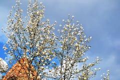 White magnolia blooming stock image