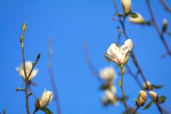 White magnolia blossom on blue sky background. White magnolia blossom in the city street on spring sunny evening. Beautiful nature background, flower, flowers royalty free stock photography