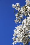 White magnolia blossom branch with blue sky Stock Image