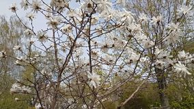 White magnolia blossom in the city park. Light breeze, sunny day. Dynamic scene, 4k video stock footage