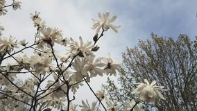 White magnolia blossom in the city park. Light breeze, sunny day. Dynamic scene, 4k video stock video footage
