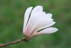 White magnolia blossom Stock Photos