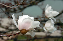 White Magnolia Blossoms Royalty Free Stock Photo