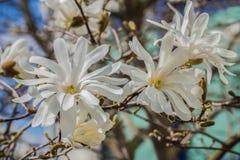 White magnolia blossoms on blue background. Three white magnolia blossoms in full splendor with light blue background Stock Image
