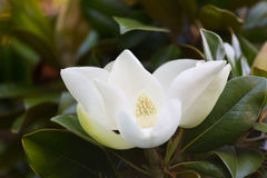 White magnolia Royalty Free Stock Images