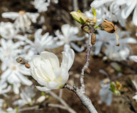 White magnolia branch flower, close up, isolated, floral background Royalty Free Stock Photo