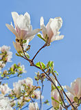 White Magnolia branch flowers, tree flowers, blue sky background Royalty Free Stock Photography