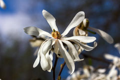 White magnolia. Branch of magnolia sieboldii tree in the garden Royalty Free Stock Images