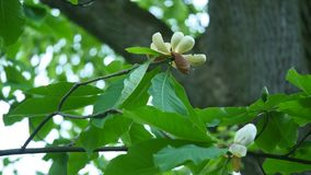 White magnolia bud, flowers of white magnolia, white magnolia, white Magnolia flowers on tree branch, Magnolia tree stock video