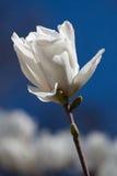 White magnolia flower Stock Image