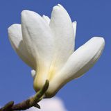 White magnolia flower against the blue sky, macro Stock Images