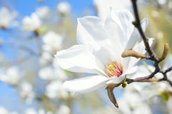 White magnolia flower Royalty Free Stock Image