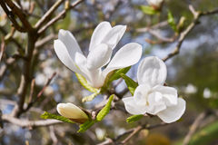 White magnolia flower Royalty Free Stock Photo