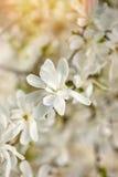 White magnolia flower against the sun close-up Stock Photos