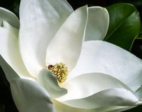 Free White Magnolia Flower And Bee In A Tree Closeup Royalty Free Stock Photos - 150844838