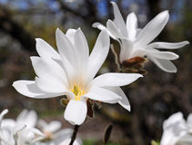 White magnolia flower Royalty Free Stock Photography