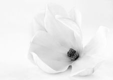 White magnolia flower in bloom. Closeup of white magnolia flower in bloom with studio background Royalty Free Stock Photography