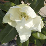 White magnolia flower Royalty Free Stock Image
