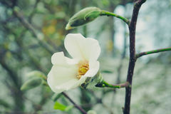 White Magnolia flower on the blurred background Royalty Free Stock Photos