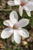 White Magnolia flower. Blurry earthy green backgrouund royalty free stock photos